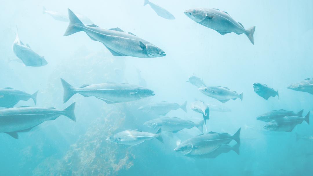 Quali sono i pesci in via d'estinzione?