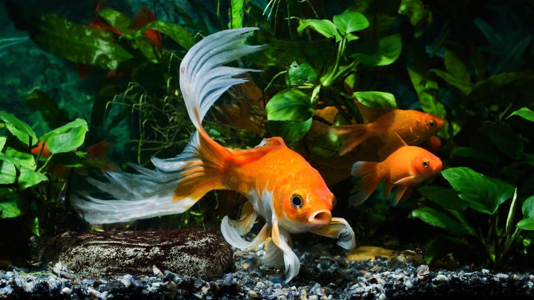 Quanto vive un pesce rosso?